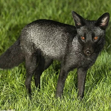Loài cáo đen xui xẻo cực hiếm được tìm thấy ở Anh