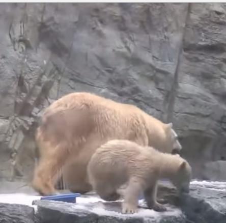 Video: Cảm động cảnh gấu mẹ cứu con khỏi chết đuối