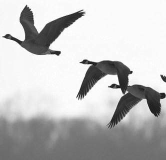 Chim trời - mối nguy khó lường với ngành hàng không