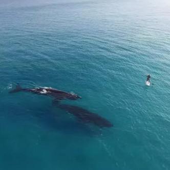 Video: Cá voi làm quen người đi ván trên biển