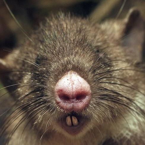 """Phát hiện chuột mũi heo có lông """"vùng kín"""" dài nhất thế giới"""