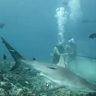 Video: Phản ứng bất ngờ của cá mập khi bị nhử bằng máu người