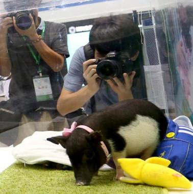 Trung Quốc tạo lợn biến đổi gene mini, giá 36 triệu/con