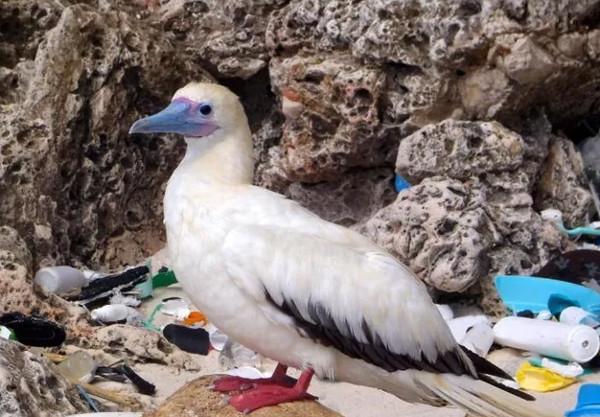 Các loài chim biển ăn nhựa nhiều hơn ăn cá
