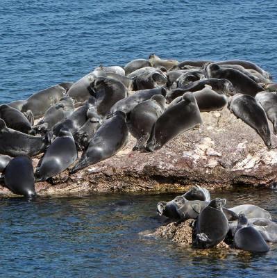 7.000 con hải cẩu Nga có nguy cơ bị tiêu diệt