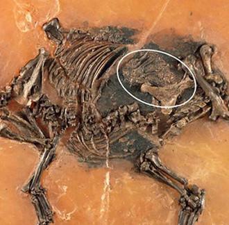 Bào thai còn nguyên vẹn trong hóa thạch ngựa 48 triệu năm