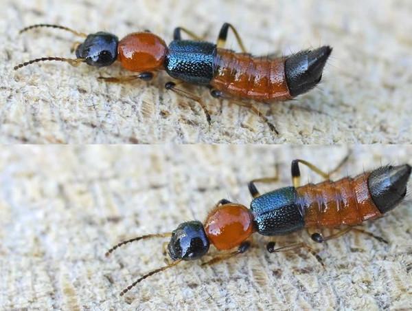 Giải oan cho kiến ba khoang