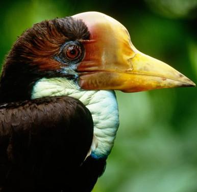 Loài chim có chiếc sừng quý hơn ngà voi