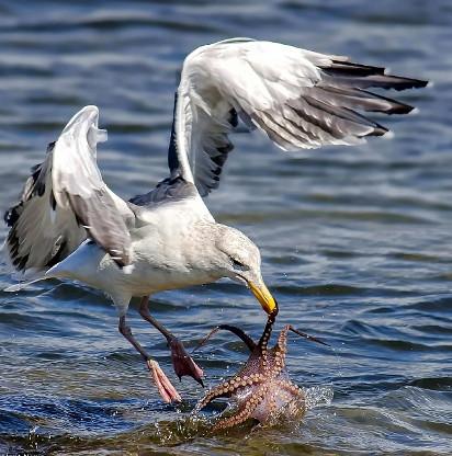 Khoảnh khắc mòng biển vật vã quyết chiến với bạch tuộc