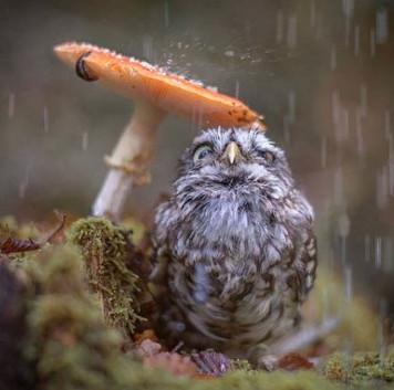 Chùm ảnh siêu dễ thương của chim cú Poldi