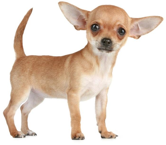 Kỷ lục của... chó