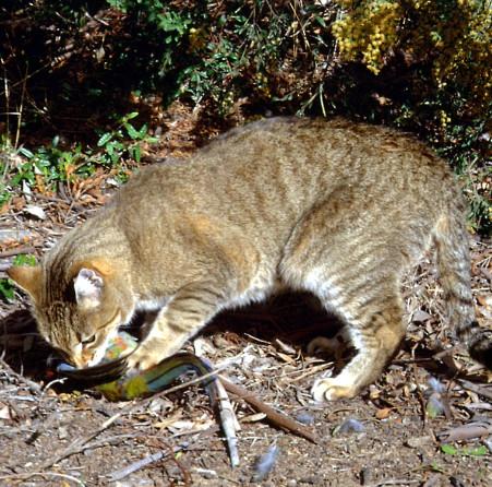 Tại sao Úc tiêu diệt 2 triệu con mèo?