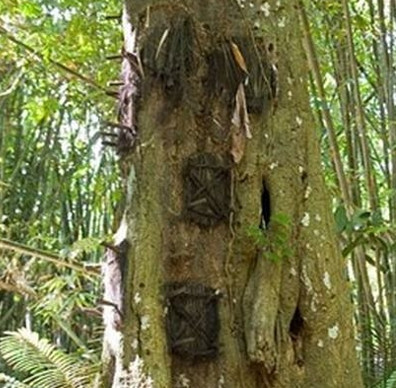 Rợn người tục lệ an táng trẻ em trong thân cây