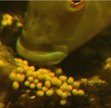 Video: Kỳ lạ cảnh cá con ồ ạt chào đời từ miệng cá bố