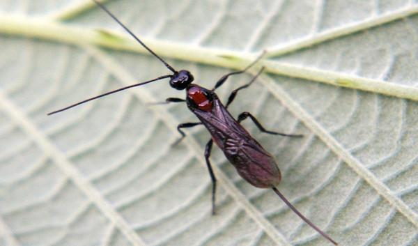 Ong bắp cày ký sinh