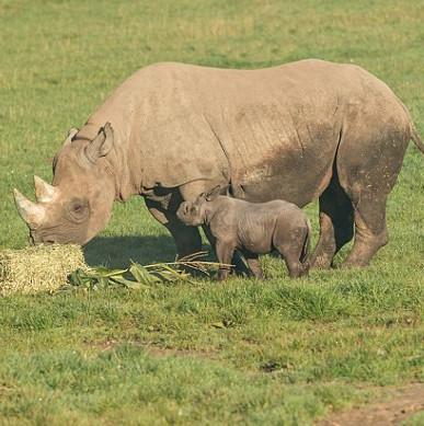 Tê giác đen hiếm lần đầu chào đời trong vườn thú Anh