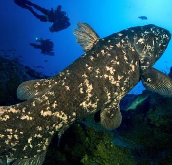 Phát hiện mới: Cá vây tay từng có phổi