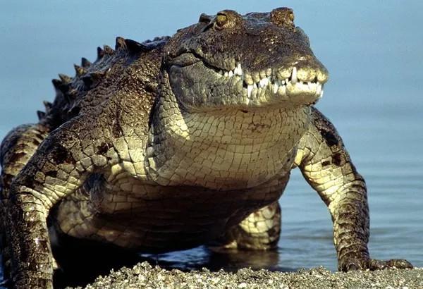 """Nghiên cứu chứng minh huyền thoại cá sấu """"săn mồi lúc ngủ"""" là có thực"""