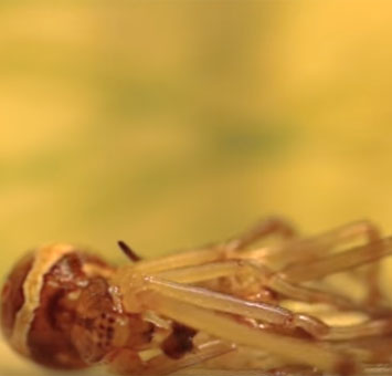 Video: Quá trình lột xác của nhện góa phụ đen