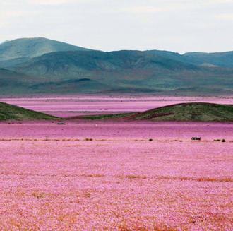 """Sa mạc khô cằn """"sống dậy"""" phủ đầy hoa hồng"""