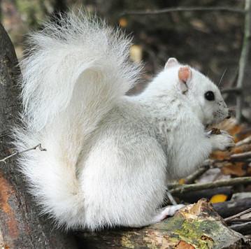 Phát hiện sóc trắng cực hiếm tại công viên lá vàng