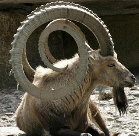 5 loài động vật có cặp sừng đáng sợ nhất