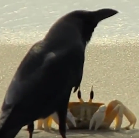 Video: Quạ đói bất lực trước tài né đòn của cua