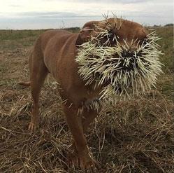 Trêu nhím, chó bị lông cắm đầy mặt