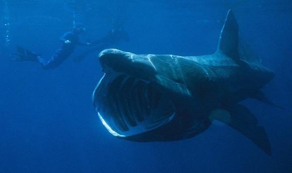 Những quái ngư trong thế giới cá mập