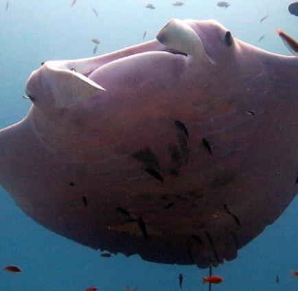 Lần đầu tiên phát hiện cá đuối màu hồng ở Úc