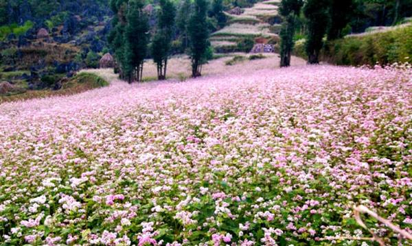 Hà Giang rực rỡ mùa hoa tam giác mạch