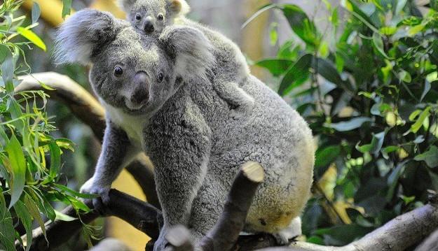 Những sự thật bất ngờ về loài gấu Koala