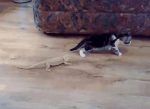 Lý giải hiện tượng mèo sợ... dưa chuột đang gây sốt
