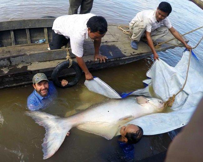 Bắt được cá da trơn khổng lồ quý hiếm trên sông Mekong