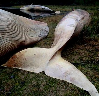 Hơn 300 con cá voi chết tập thể ở bờ biển Chile