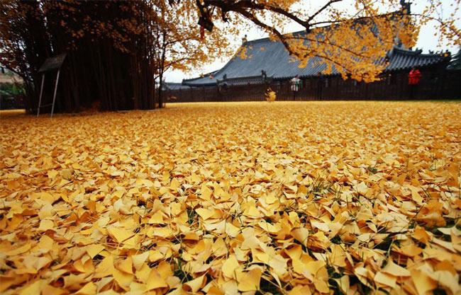 Biển lá vàng từ cây rẻ quạt 1.400 tuổi