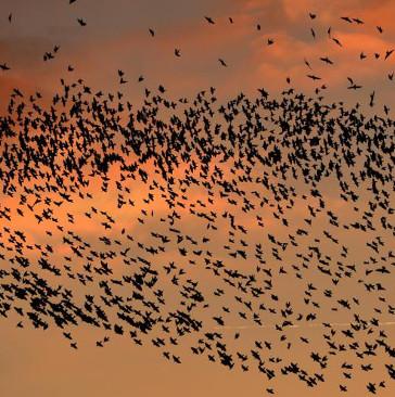 Phi đội diều hâu - vũ khí mới giúp Rome ngừa phân chim