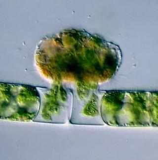"""Phát hiện bằng chứng vi khuẩn """"ma cà rồng"""" gần 1 tỉ năm tuổi"""