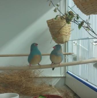 Điệu tap-dance gợi tình của chim di xanh