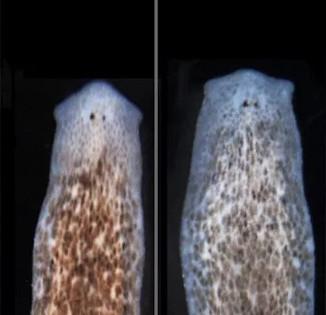 Kì diệu cách tái sinh thành một loài hoàn toàn mới của giun dẹp