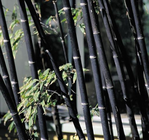 """3 loài trúc """"kỳ lạ"""" có nguy cơ tuyệt chủng ở Việt Nam"""