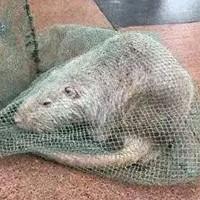 """Trung Quốc bắt được chuột """"khổng lồ"""" dài gần 1 mét"""