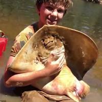 Cậu bé 12 tuổi đỡ đẻ cho cá đuối gai độc