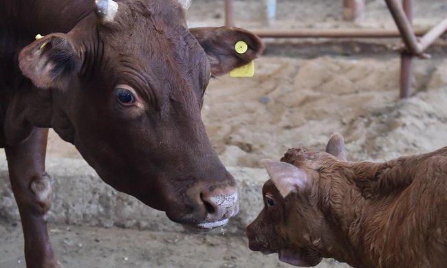 Thịt bò nhân bản Trung Quốc: Thực phẩm hay thảm họa cho môi trường?