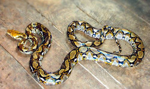Trăn gấm Python reticulatus.