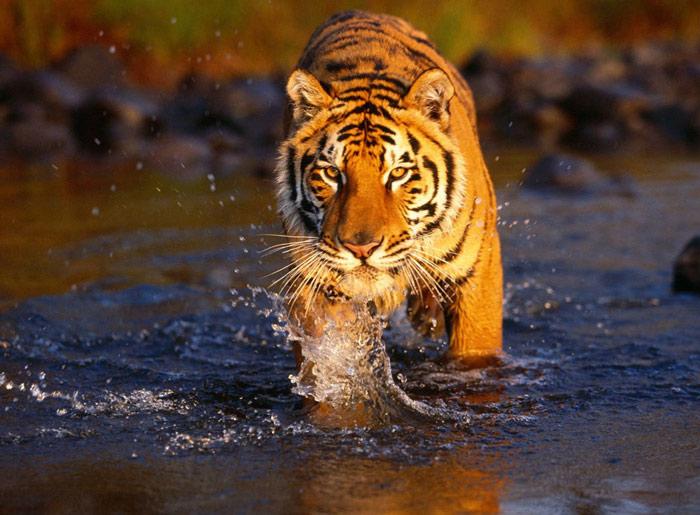 Tại Công viên quốc gia Chitwan các nhà khoa học và nhà nghiên cứu động vật tìm thấy sự xuất hiện của hổ Bengal, đây được cho là nơi duy nhất trên thế giới còn tồn tại loài hổ này
