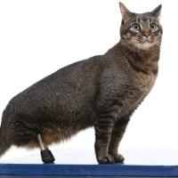 Cấy ghép chân hợp kim titan giúp mèo tàn tật có thể đi lại
