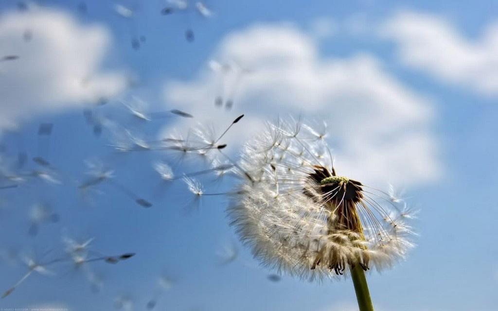 Xưa kia, Răng Sư Tử nằm đủng đỉnh bên trên đồng cỏ dại, ôm ấp những cánh hoa vàng như màu nắng của nó. Người chàng yêu chính là đoá hoa Bồ Công Anh nở rộ từ chính trong vòng tay ấm áp của chàng.