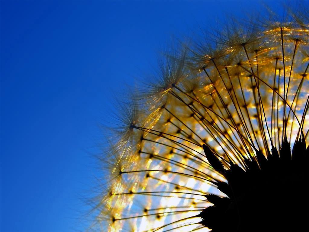 Răng Sư Tử nhói lên trong lòng, tuyệt vọng giơ những cánh tay xanh biếc ra, giữ chặt lại Bồ Công Anh trắng muốt nhưng vô ích. Những cánh hoa Bồ Công Anh xinh đẹp và mềm mại đã tự tách khỏi nhuỵ hoa, để bay cùng chiều với Gió mất rồi.