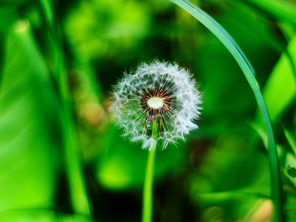 Không chỉ thế, do hoa nở và tàn theo giờ, những người chăn cừu thường xem loại hoa dại này như một chiếc đồng hồ vậy.